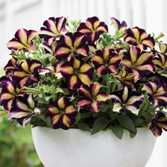 Crazytunia Pulse
