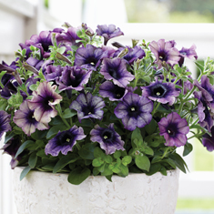 Crazytunia Twilight Blue